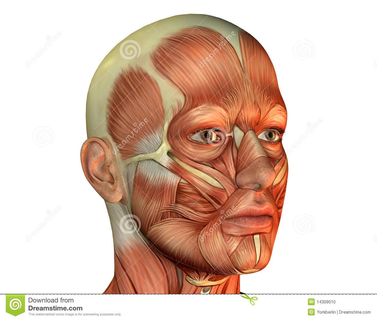 Muscular System ios